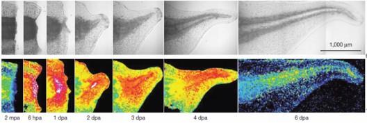 Les radicaux libres pourraient accélérer la cicatrisation et la régénération des tissus humains